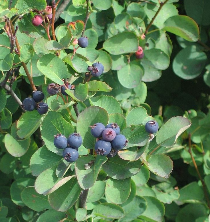 Saskatoon (Amelanchier alnifolia) - is a shrub with edible berry-like fruit (resembling blueberries), native to North America from Alaska across most of western Canada and in the western & north-central U.S.