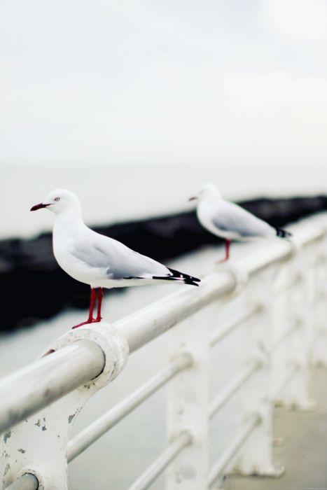gulls//