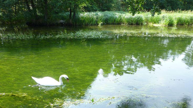 Kaszuby, lato, łabędź / swan / summer 2013