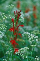 Yarrow is one popular perennial that grows well in Utah.