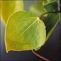 Trembling Aspen leaf