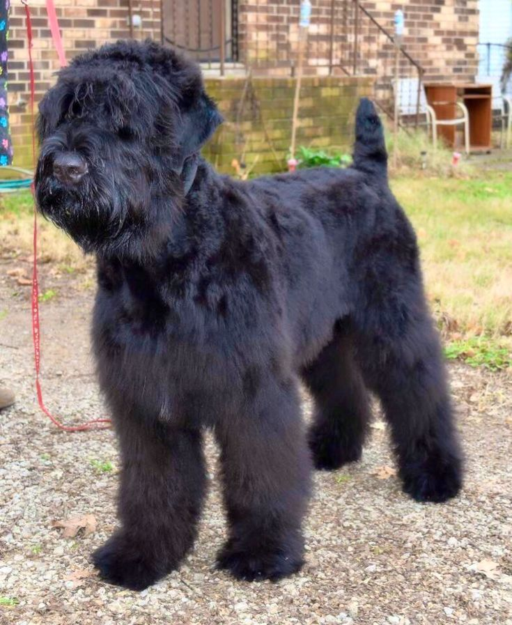 Black Russian Terrier Puppy | Charlie and Oliver ...