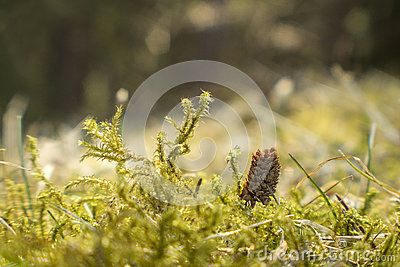 A macro photo taken in a forest with green moss and a miniature pine cone.