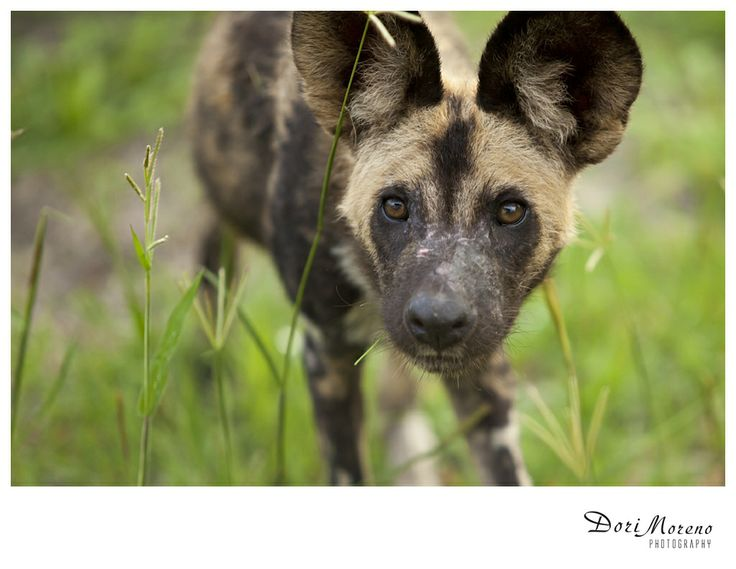 African Wild dog - highly endangered, Okavango Delta, Botswana