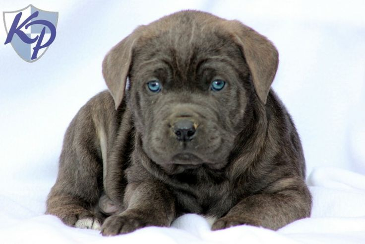 Duncan Cane Corso Puppies for Sale in PA Keystone