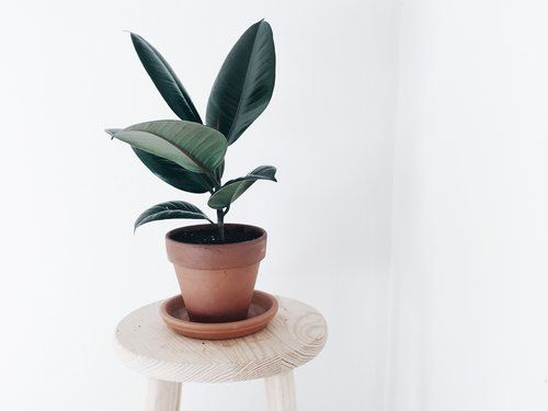 Ficus elastica | the hanging plants
