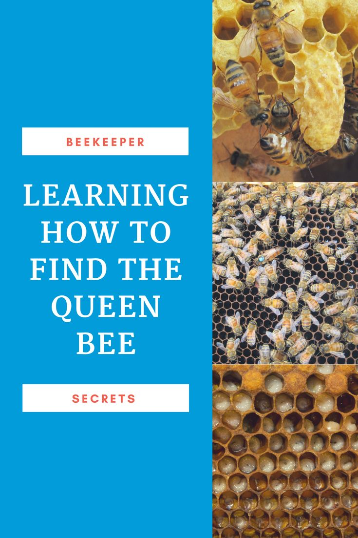 Learning how to find the queen bee is an important task.  Practice makes perfect.  You can practice right here ! Carolina Honeybees Farm via @https://www.pinterest.com/carolinahoneyb