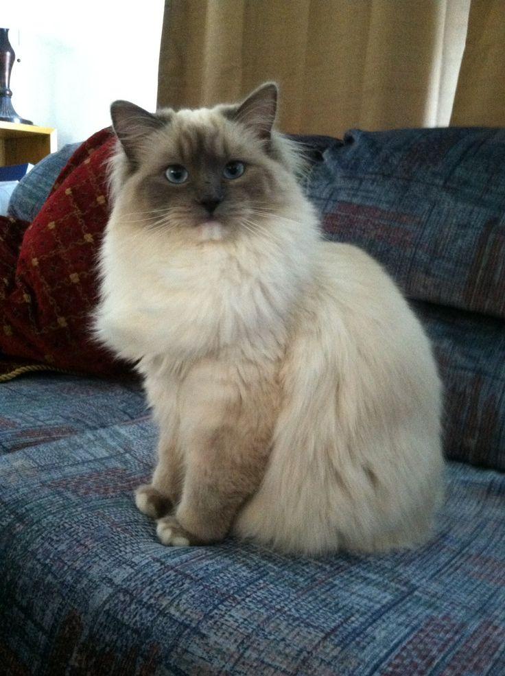 Ragdoll cat weight at 1 year