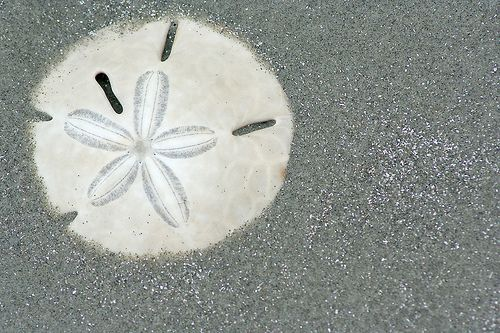 How to Harden a Sand Dollar via www.wikiHow.com