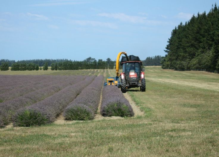 Harvesting the first row of lavender - 5