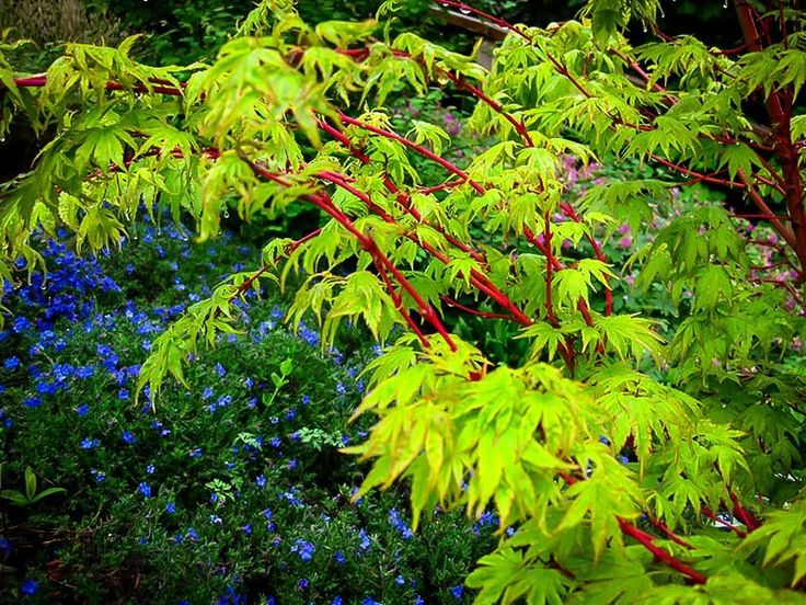 123 best images about japanese maple trees on pinterest for Small japanese tree