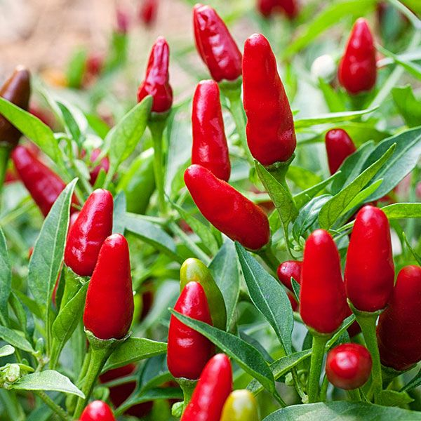 144 best Big List of Hot Peppers! images on Pinterest