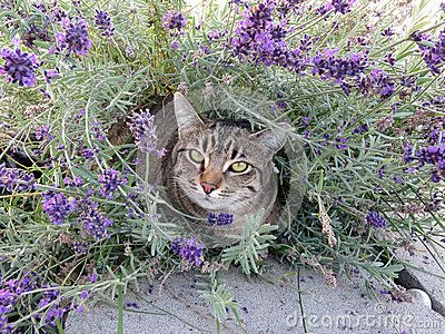 Tabby cat in lavender flowers - by Russ Mcelroy