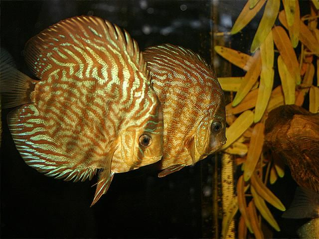 76 best freshwater aquarium fish fri images on pinterest for Keeping discus fish
