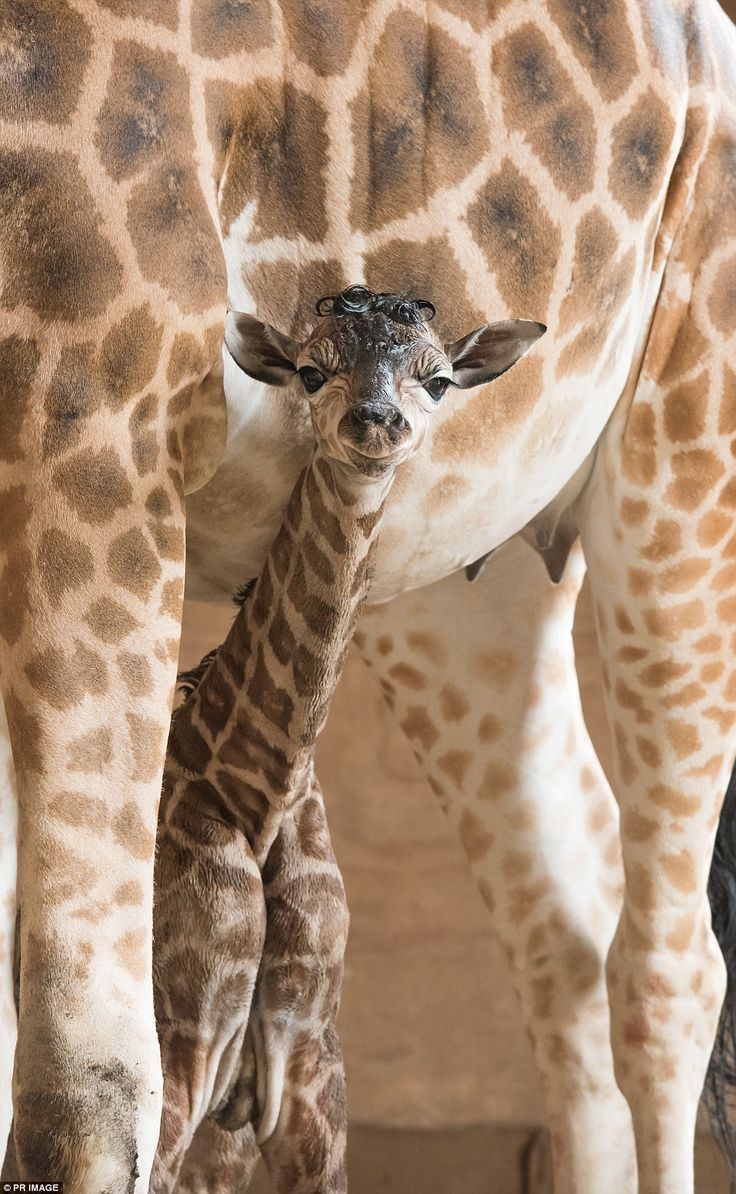 The yet-to-be named baby giraffe Mogo Zoo