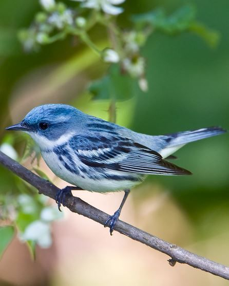 Cerulean Warbler - summer in eastern US deciduous forests, winter in S American broadleaf evergreen forests, vulnerable