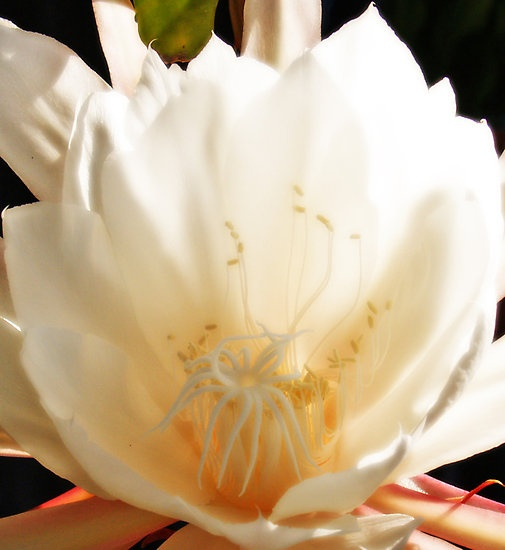 Epiphyllum, night blooming orchid cactusNightbloom Flower