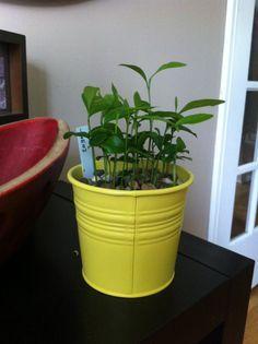 Faire pousser des citrons dans votre cuisine? Oui, oui…