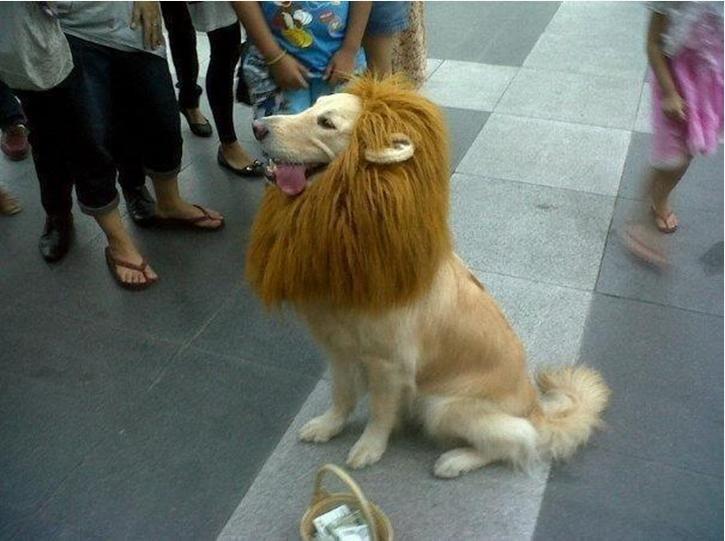 Simba! @Asia Bartlett: Halloween Costumes, Dresses Up, Dogs Costumes, Lion Costumes, Lion King, Funny Animal, Trust Me, Costumes Ideas, Golden Retriever