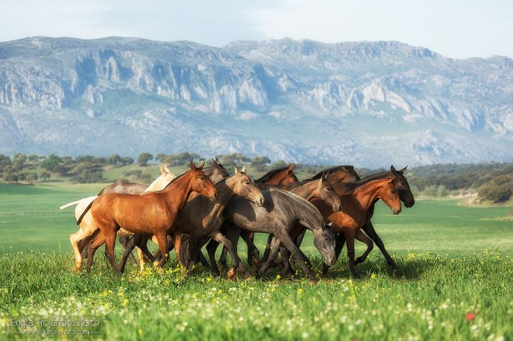 The herd of PRE colts, Spain