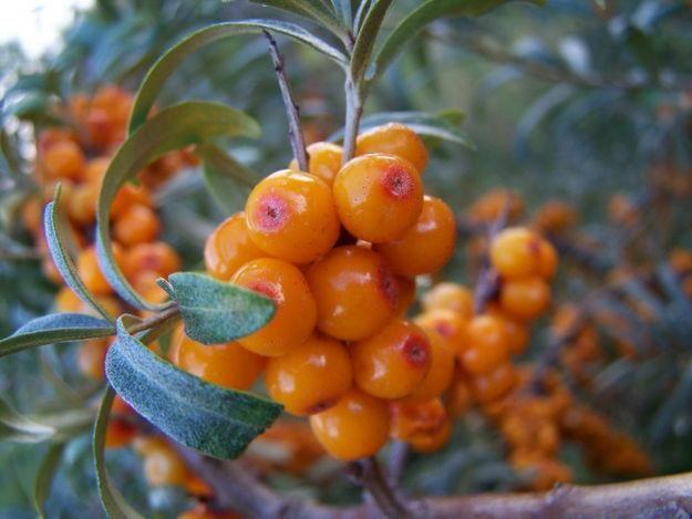 Листья облепихи: полезные свойства листьев облепихи