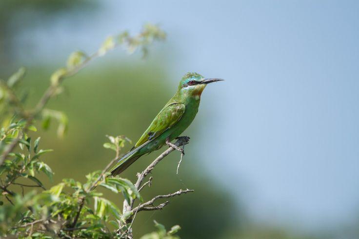 Blue cheeked beeater at Singita, Kruger