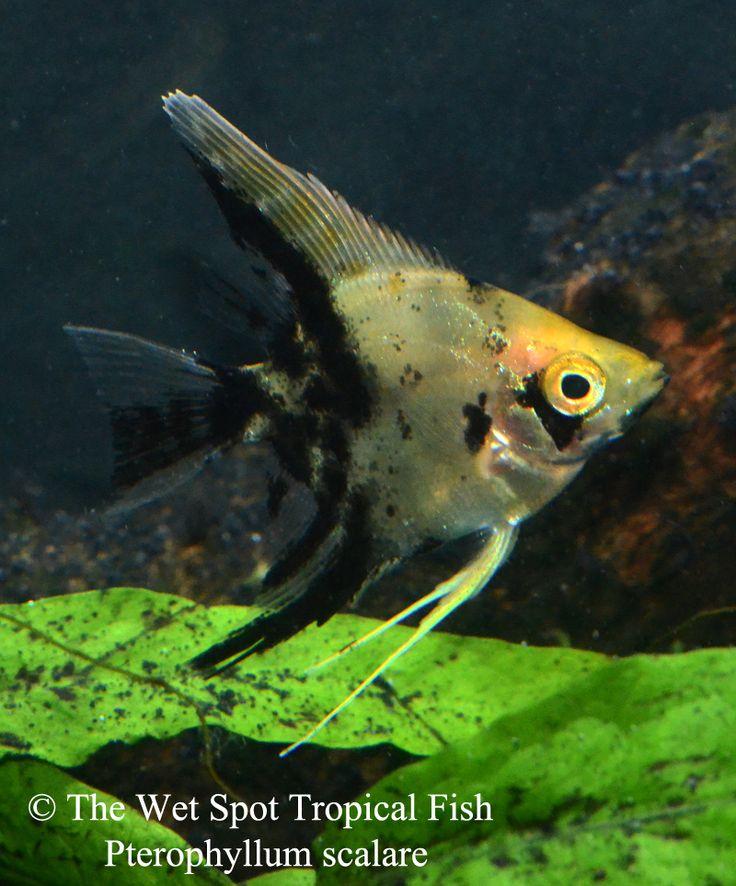 Meer dan 1000 afbeeldingen over Angelfish / Maanvissen op Pinterest ...