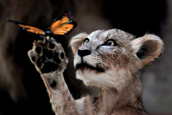 The wonderment of nature - The Lion and the Butterfly - Lintao Zhang/Getty Images