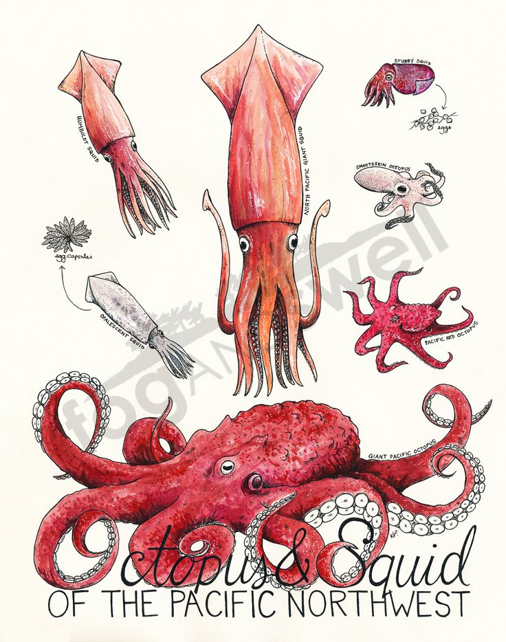Mysterious creatures of the deep, octopus and squid - also known as cephalopods - inspire legends and monster tales on the high seas. In the Pacific Northwest you will find three species of octopus along with four types of squid...but if you actually ever see any of them you are lucky. These wiley beasts don't often pop out to say hello, unless you are a diver or an avid low tide explorer. Occasionally schools of Humboldt squid wash ashore - they are new visitors to the northern...