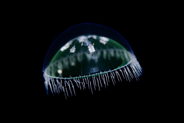 From 'Norwegian Jellyfish Are Out Of This World' -- unbelievable, looks like glass!