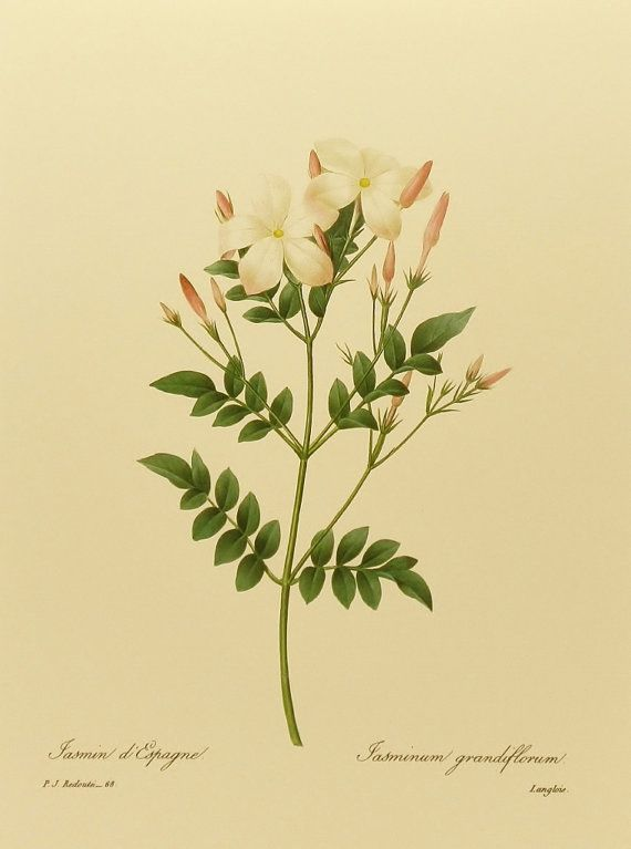 Royal Jasmine, French Print Botanical Art, White Flower Print, Pierre Joseph Redoute No. 68 This will be my tattoo♥