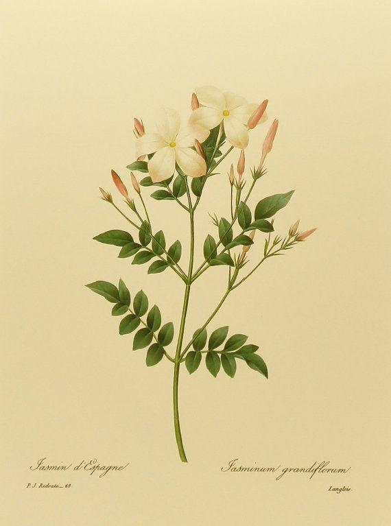 Royal Jasmine, French Print Botanical Art, White Flower Print, Pierre Joseph Redoute No. 68 This will be my tattoo♥