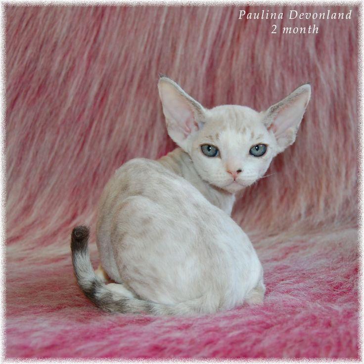 Питомник девон рексов DEVONLAND: Красотка Паулина - 2 месяца. Продажа котят девон-р...