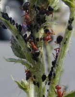 Hormigas: Plaga de hormigas, Invasión de hormigas en rosal, maceta, jardinera, árboles. Ahuyentar hormigas, Hormiguicidas…