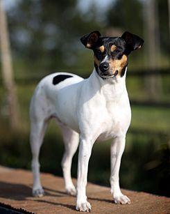 El ratonero bodeguero andaluz es una raza canina española de pequeño tamaño con origen en Andalucía Occidental,