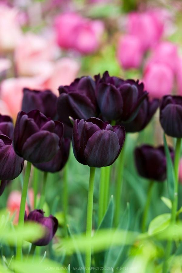 Dark purple-black 'Queen of the Night'  Tulips