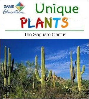 UNIQUE PLANT OF THE DAY ... The Saguaro Cactus (Carnegiea gigantea) is one of the defining plants of the Sonoran Desert. These plants are large, tree-like columnar cacti that develop branches (or arms) as they age, although some never grow arms. These arms generally bend upward and can number over 25. The roots of saguaro cactus can store up to 8 tons of water, collected during the brief periods of rain. You find this cactus in southern Arizona and western Sonora, Mexico.