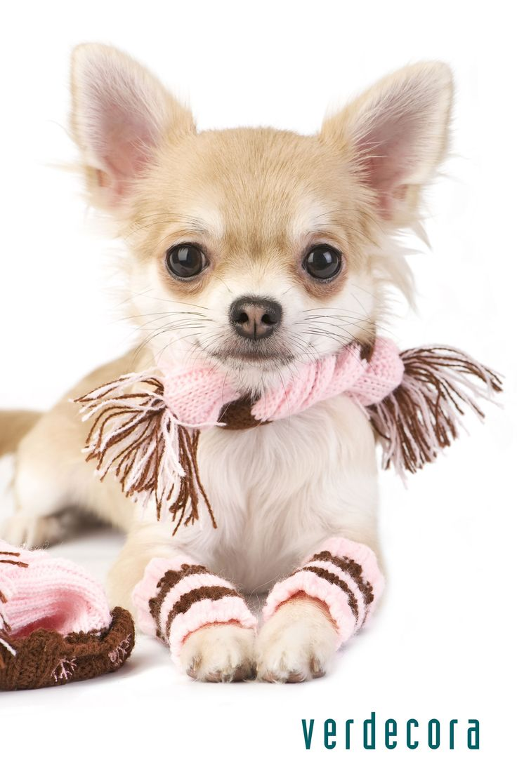 Chihuahua I must make my Lily leg warmers