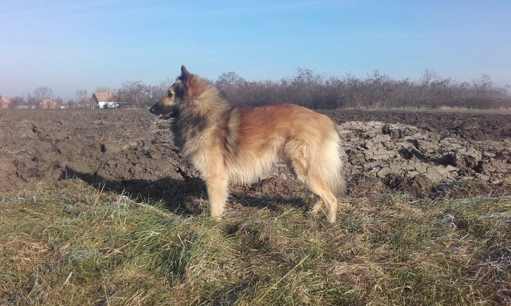 Red and fawn  coat and black mask. This is belgian shepherd.