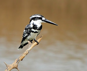 The Pied King  by Prasanna Bhat -  Click on the image to enlarge.