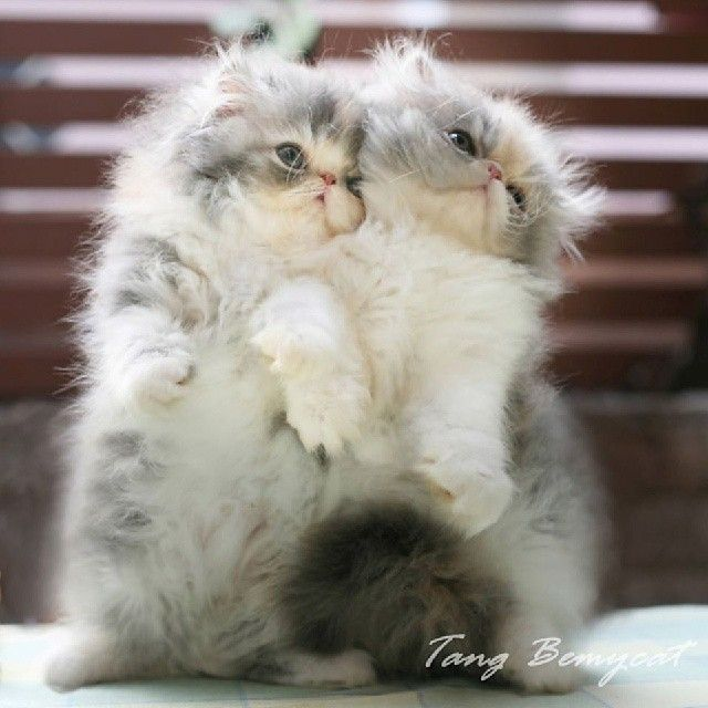 """""""We are twin! That's why we love each other so so much"""" http://instagram.com/p/yecZmfxbTW/. Persian kitties"""