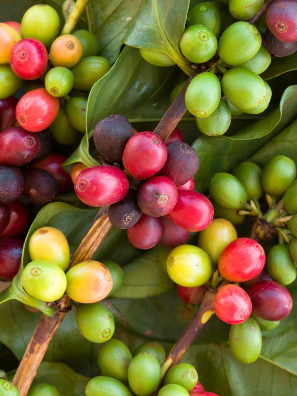It is the pit inside the red or purple fruit often referred to as a cherry.