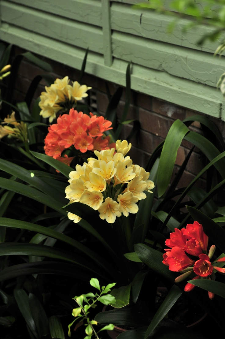 Clivias in flower