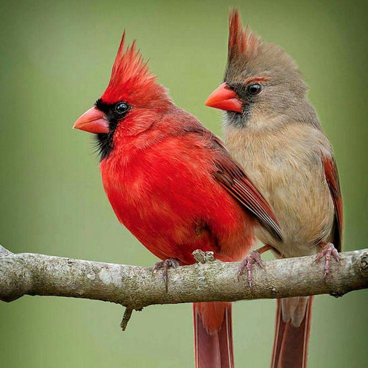 Rode kardinaal - Northern Cardinals (Cardinalis cardinalis) in North America by Bonnie Taylor Barry.