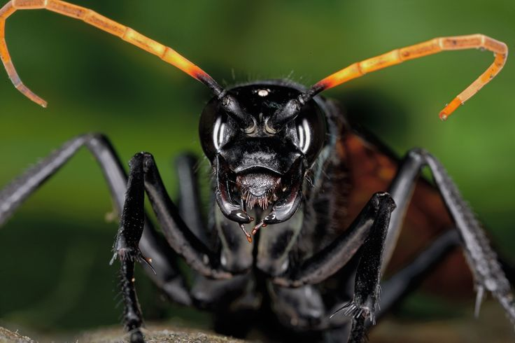 https://flic.kr/p/KcTSGE | Pepsis sp I | Family Pompilidae, this is a tarantula hawk or a large spider-hunting wasp
