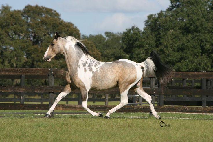 Golden Buckskin Horse | ... horses! POST AWAY!! at the Horse Colors / Genetics forum - Horse