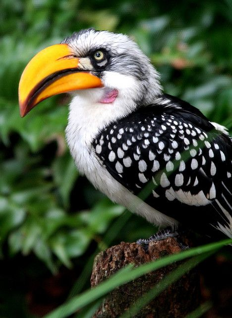Southern Yellow-billed Hornbill, found in southern Africa. Medium sized bird with long yellow beak.