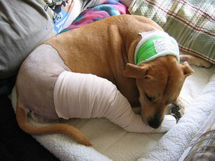 ACL Injuries In Dogs