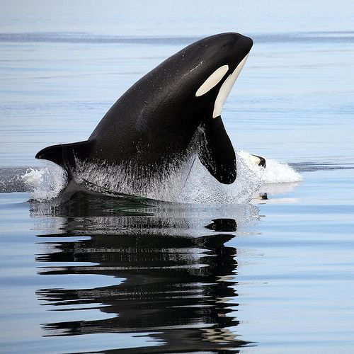 Whale watching in #Iceland. From our post: Top Ten Things To Do In Iceland