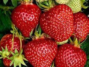Ostara Erdbeeren - 20 Stück